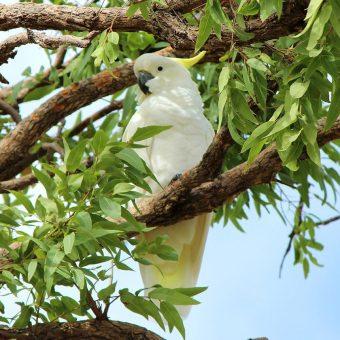 White Cockatoo Dreaming